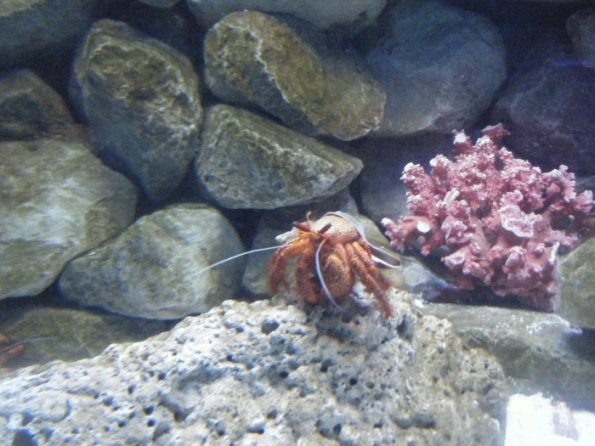 A big hermit crab